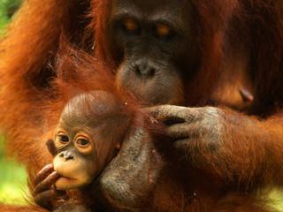 Female and baby orangutan