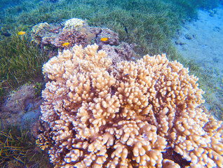 Pink corals in tropical seashore. Undersea landscape photo. Fauna and flora of tropical shore.