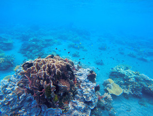 Coral growth in tropical seashore. Undersea landscape photo. Fauna and flora of tropical shore.