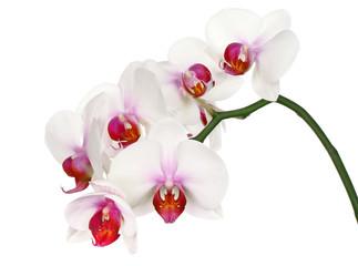 Beautiful white flower Orchid, phalaenopsis