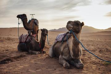 Camels relaxing on sand at desert against sky