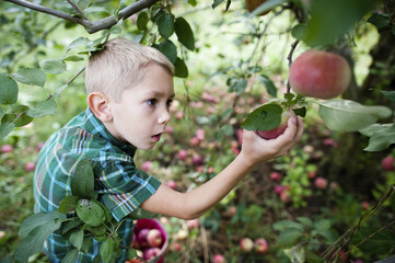 High angle view of boy plucking apples while harvesting in orchard