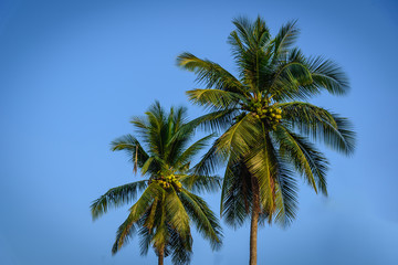 Coconut palm trees on blue sky background.