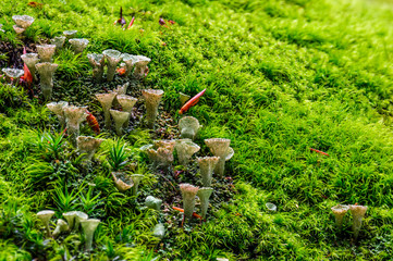 small mushrooms in the moss closeup