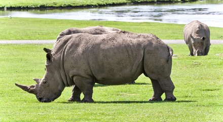 Background with two rhinoceroses eating the grass