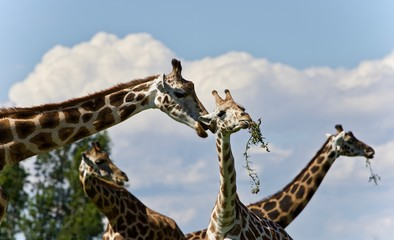 Image of four cute giraffes eating leaves