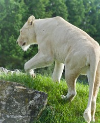 Beautiful isolated photo of a white lion walking