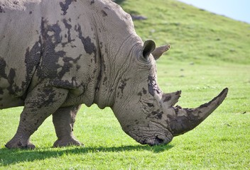 Picture with a rhinoceros eating the grass