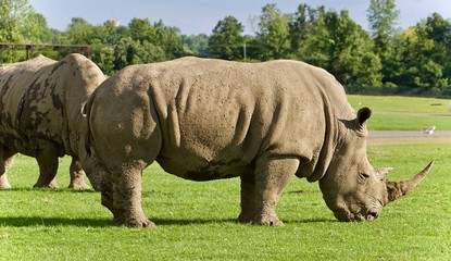 Image of two rhinoceroses eating the grass