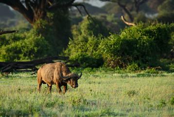 African Buffalo - Syncerus caffer, Kenya, Africa