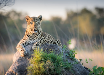 Foto op Plexiglas Luipaard Beautiful Leopard reclines on top of a termite mound surveying the horizon for trouble