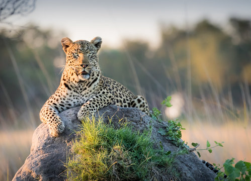 Beautiful Leopard reclines on top of a termite mound surveying the horizon for trouble