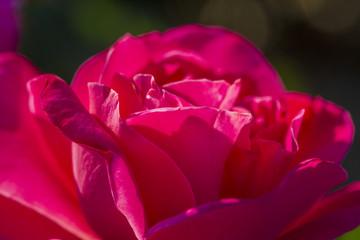 Summer Rose Garden Macro Photography