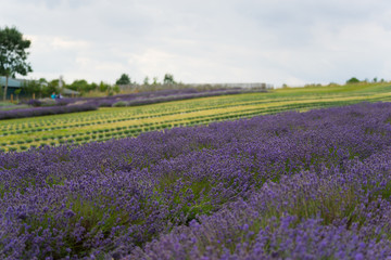 A Lavender farm in the south of England in the summertime at daytime, lilac flowers with a delightful smell