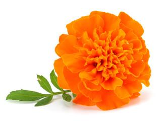 Orange Marigold flower (Tagetes erecta, Mexican marigold, Aztec marigold, African marigold) Tagetes erecta flower isolated on white
