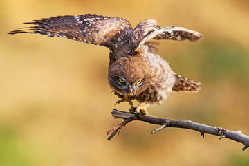 Young little owl with wide open wings