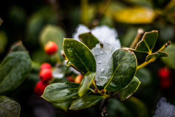 Ice on the leaves of a holly bush with red berries in the winter