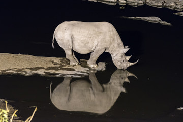 Black rhinoceros drinking water at artificially lit waterhole after sunset