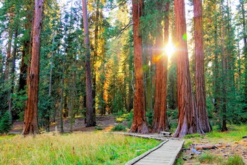 Sunbeams through the giant trees of Sequoia National Park, California, USA