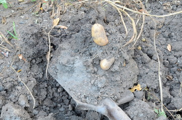 Digging out the ripened potato tubers with a shovel.