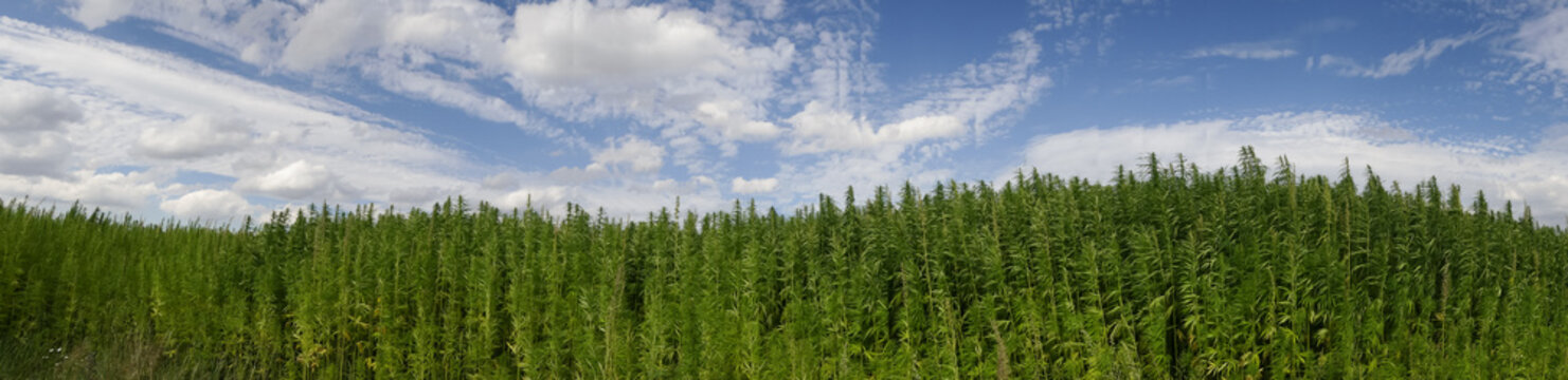 cannabis on a farm dancing in the wind