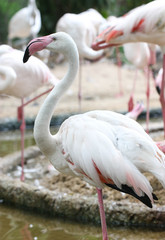 Close Up Of White Flamingo Standing In A Swamp.
