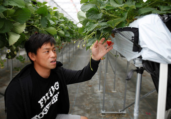 Hiroki Iwasa, a 40 year-old IT entrepreneur with an MBA, touches strawberries at his high-tech greenhouse in Yamamoto Town, Japan