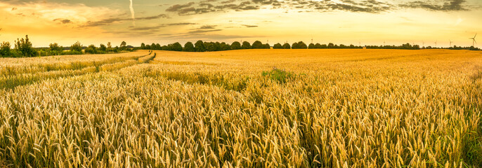 Keuken foto achterwand Cultuur Golden wheat field and sunset sky, landscape of agricultural grain crops in harvest season, panorama