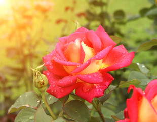 Fototapete - Beautiful rose on flowerbed