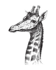 Giraffe head - vintage illustration