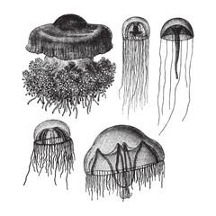 Jellyfish collection - vintage illustration