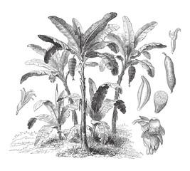 Latundan banana (Musa sapientum) - vintage illustration