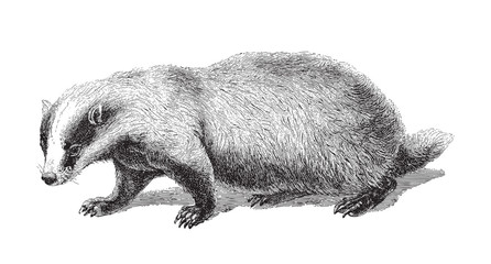 Badger (Meles Taxus) - vintage illustration