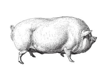 Large White pig or English Large White - vintage illustration