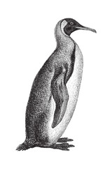 King Penguin (Aptenodytes patagonicus) - vintage illustration