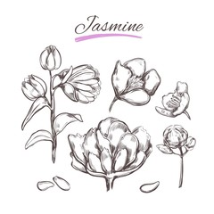 Jasmine. Vector collection in sketch style. Isolated objects. Natural herbs and flowers. Beauty and Ayurveda. Organic cosmetics