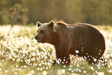 Brown bear in cotton grass at sunset in summer, Finland