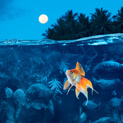 Beautiful tropical night with full moon small golden carp surrounded by angry piranhas cannot sleep