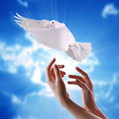 women's hands  released  into the sky to the sun a white dove