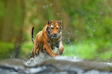 Tiger with splash river water. Action wildlife scene with wild cat, nature habitat. Tiger running in the water. Danger animal, tajga in Russia. Animal in the forest stream. Grey Stone, river droplet.