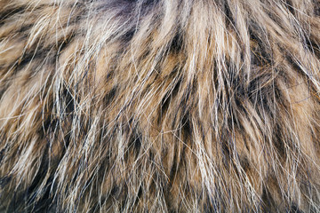 Texture of the fur raccoon with a long nap Wall mural