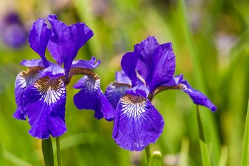 Close up of purple Iris flowers on a green background