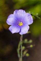 Wall Mural - Little purple flower in the sun