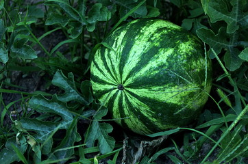 Growing watermelon in garden.