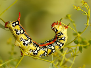 Closeup caterpillar of Spurge hawk-moth (Hyles euphorbiae) eats the plant Euphorbia stepposa