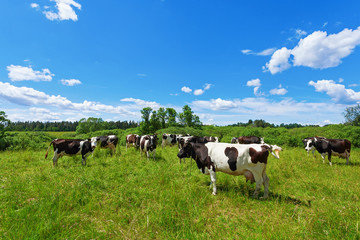 A herd of Holstein Fresian cows grazing on a pasture under blue cloudy sky Wall mural