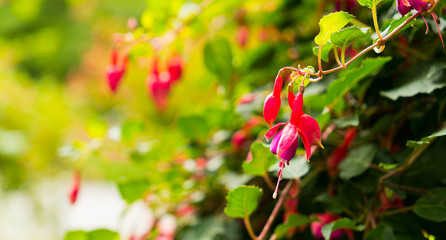 A flower of red fuchsia on a beautiful blurred background.