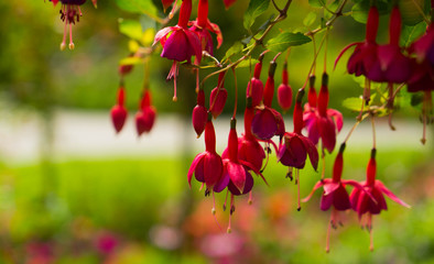 Flowers of red fuchsia flowers.