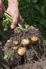 Harvesting new potatoes in hobby garden.