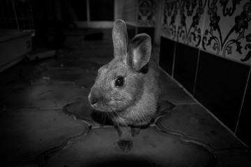a portrait shot of my rabbit at home in black and white